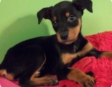 German Shepherd Doberman Mix Puppies: Doberman Shepherd
