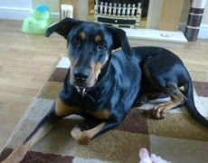 Doberman Rottweiler Mix Dog