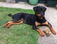 Doberman Rottweiler Mix Puppies