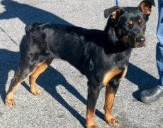 Doberman Rottweiler Mix Puppy